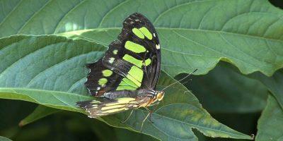 Butterfly 70